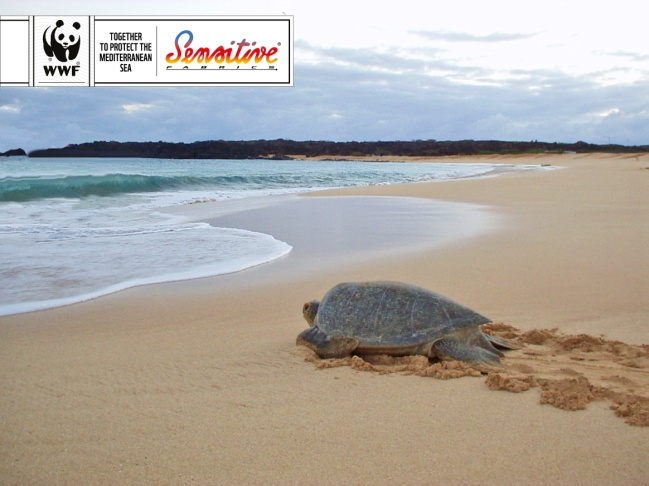 The loggerhead sea turtles caretta caretta are under threat in the first days of their lives. © Eurojersey