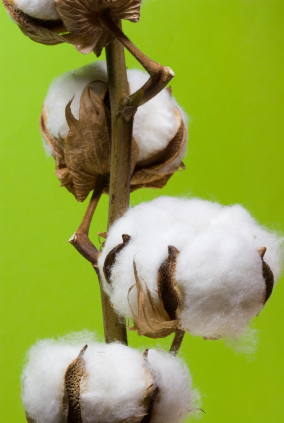 Cotton is grown in around 80 countries worldwide and is a key raw material for the textile industry, accounting for around 32% of all fibres used.