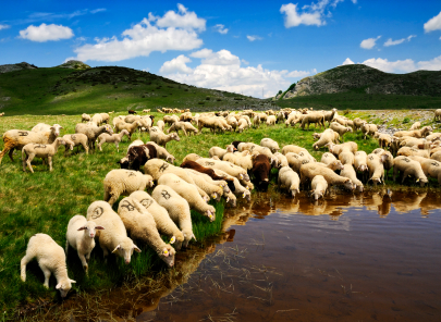 By the early 20th century the Portland was under pressure from other breeds and in 1920 the last Portland sheep left the island.
