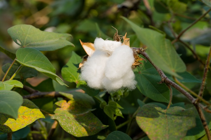 In India, over 2,400 cotton farmers from Fairtrade certified cooperative Noble Ecotech have benefitted from Fairtrade cotton sales. © Thought Leader Global Media