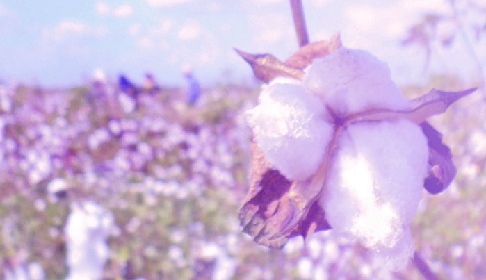 Egyptian cotton buds. © Cotton Egypt Association