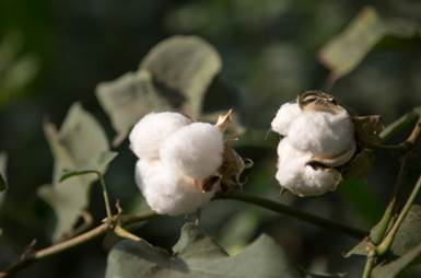Pakistan is the fifth largest producer of cotton in the world. © WWF-Pakistan