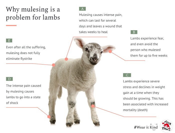 The impacts of mulesing are so intense that lambs can go into a state of shock, stand immobile and hunched following the procedure, leaving a wound that takes weeks to heal, and for some lambs the procedure can be fatal. © Four Paws